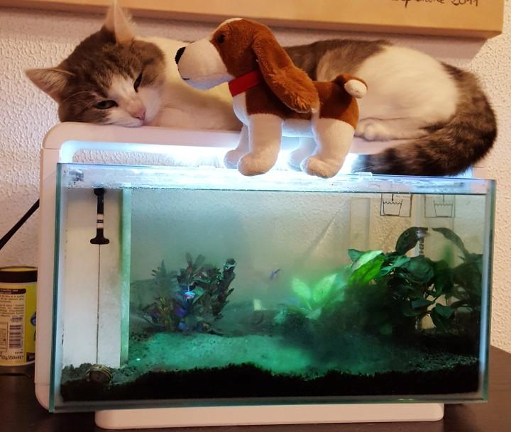Le chat sur l'aquarium photo non libre de droits